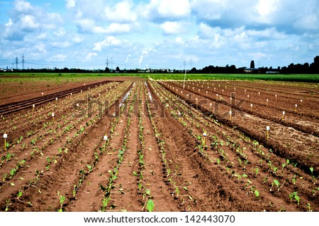 Rows of a  new fresh salad test field - stock photo