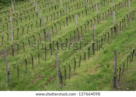 rows of a vineyard in the green hill meadow in summer - stock photo