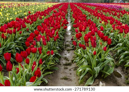 Rows of assorted colors of tulip plants on tulip bulb farm - stock photo
