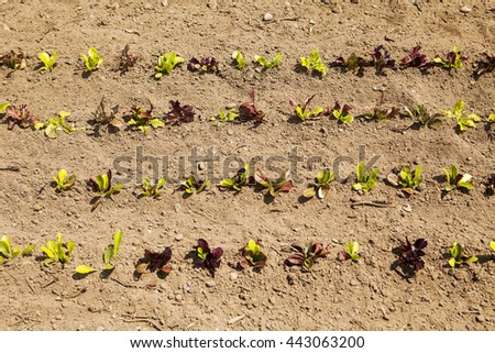 Rows of baby lettuce plants are growing in a field on an organic farm as viewed from directly above.