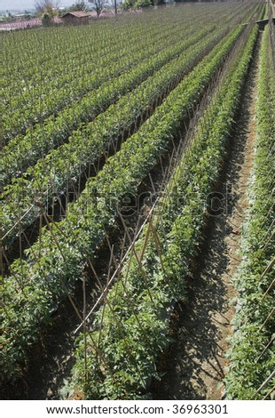 Rows of bamboo canes support young tomato plants.  This is rich agricultural land and is used for intensive farming.