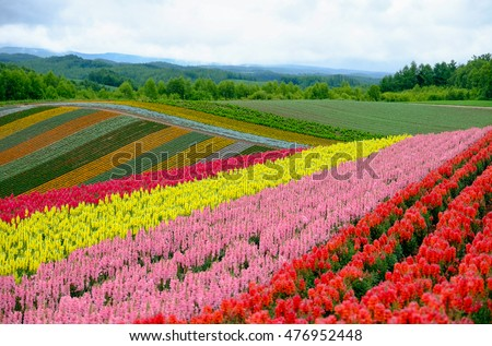 rows of beautiful colorful flower fields Hokkaido , Japan
