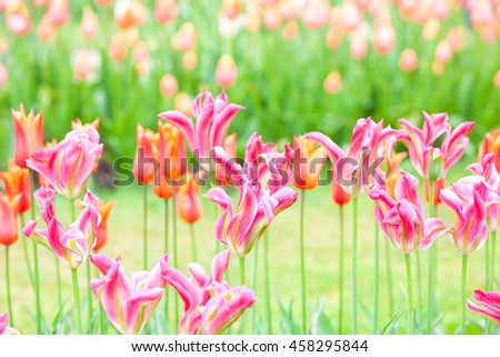 Rows of beautiful red tulips flowers in a large field - stock photo