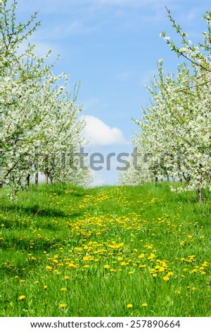 Rows of beautifully blossoming cherry trees on a green lawn  - stock photo