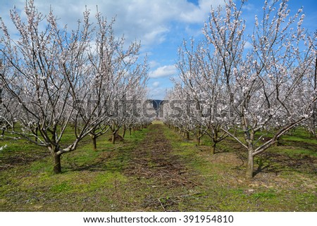Rows of blooming almond trees in an orchard