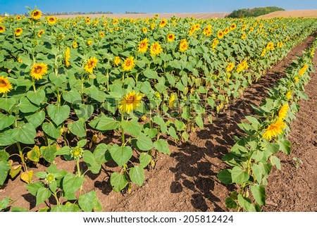 Rows of blooming sunflowers on the field on a summer morning - stock photo