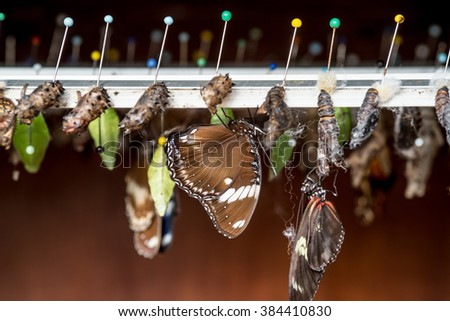Rows of butterfly cocoons and newly hatched butterfly