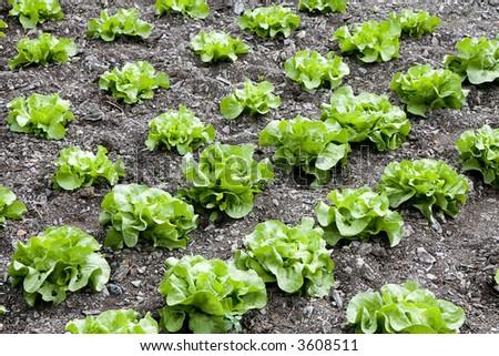 Rows of butterhead lettuce in a farm - stock photo