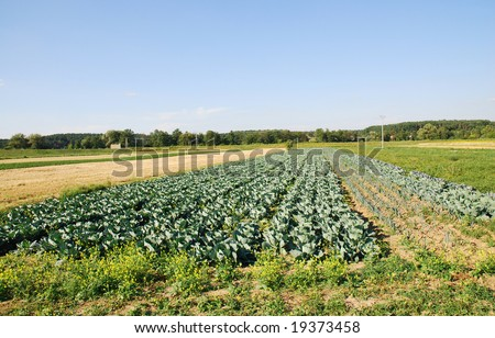 Rows of cabbage on cultivated field
