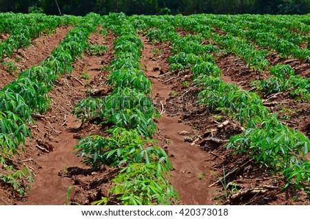rows of cassava farming after raining, vegetable garden, vegetable bed, vegetable plot, soil, agriculture, edible plant, organic farm, cultivation, Manioc, Tapioca - stock photo