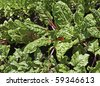 Rows of chard growing in an inner city allotment - stock photo