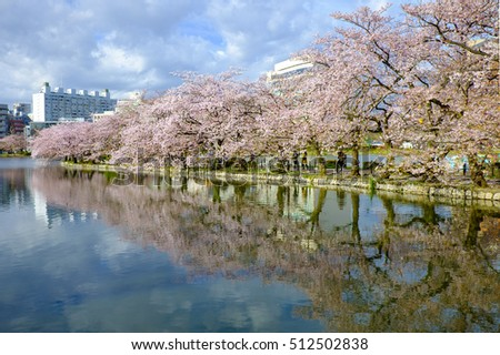 rows of cherry blossom and mirror reflection at ueno park