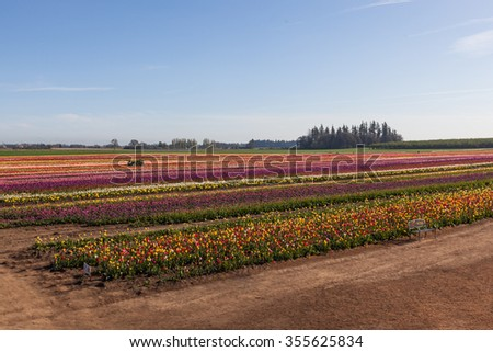 Rows of colorful tulips blooms in the spring with a bench and a tractor in the morning light. - stock photo