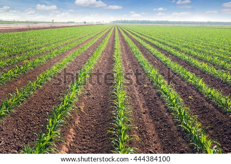 Rows of corn field in  in springtime. Horizontal view in perspective with cloud and blue sky background.