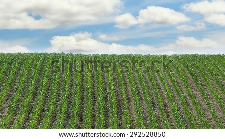 Rows of corn plants going up a hill - stock photo