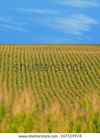 Rows of corn stalks in a cornfield on farm and blue sky - stock photo