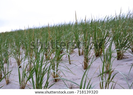 Rows of Dune Grass on the Sandy Beach