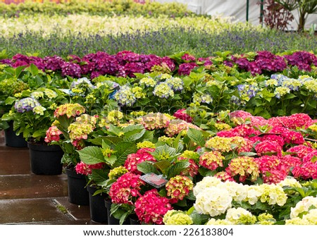 Rows of flowers for sale at a retail garden center, nursery or market garden. - stock photo