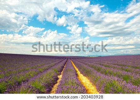 Rows of flowers in the lavender fields of the French Provence near Valensole - stock photo