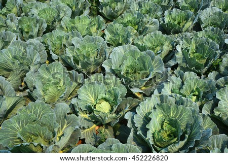 Rows of fresh cabbage plants on the field