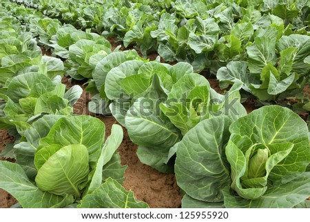 Rows of fresh cabbage plants on the field before the harvest - stock photo
