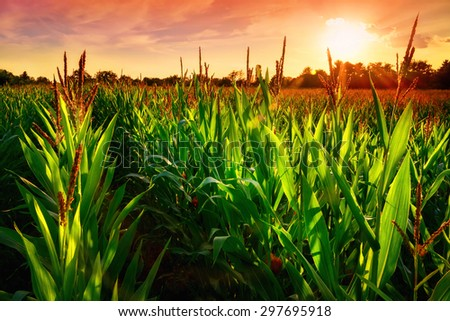 Rows of fresh corn plants on a field with beautiful warm sunset light and vibrant colors - stock photo