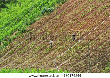 rows of fresh green lettuce and soil cultivators take a look at my other images of lettuce.