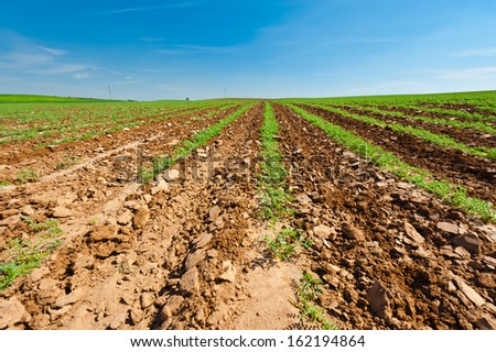 Rows of Fresh Young Green Seedling in Israel - stock photo