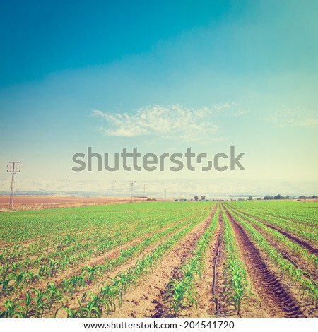 Rows of Fresh Young Green Seedling in Israel, Instagram Effect - stock photo
