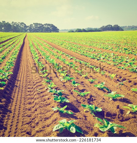 Rows of Fresh Young Green Seedling in Portugal, Instagram Effect - stock photo