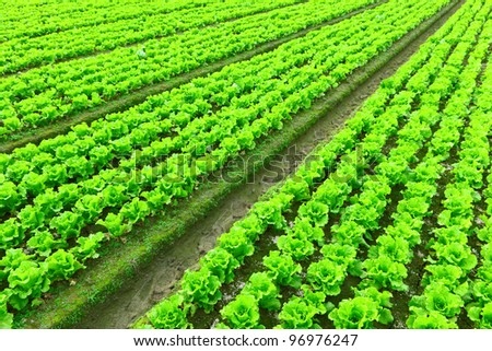 Rows of freshly planted lettuce