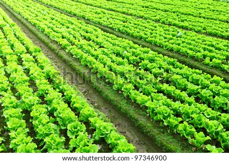 Rows of freshly planted lettuce - stock photo