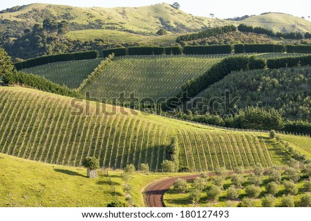 Rows of grape bushes, with a dirt road through a beautiful vineyard.  Rural landscape.