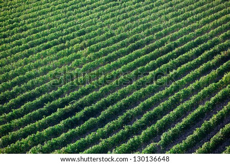 Rows of grape vines - stock photo