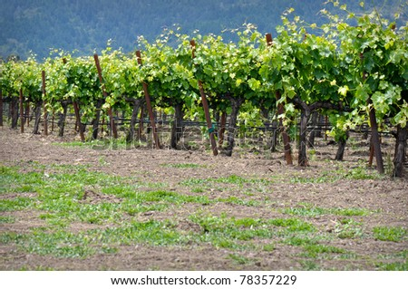 Rows of Grape Vines in Napa Valley California - stock photo