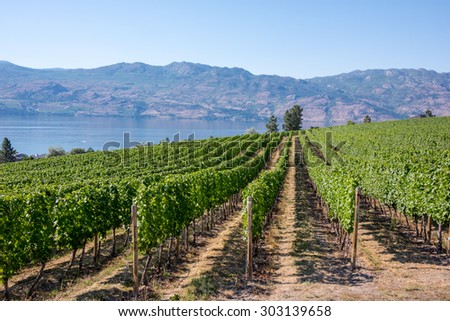 Rows of grape vines lined up at a vineyard with the Okanagan Lake in the background in British Columbia, Canada - stock photo