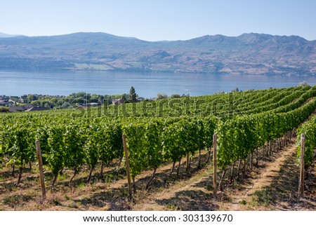 Rows of grape vines lined up at a vineyard with the Okanagan Lake in the background in British Columbia, Canada