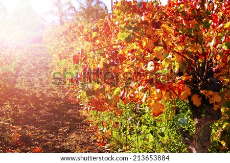 Rows of grape vines with autumn leaves in Australian winery vineyard with golden sunset. - stock photo