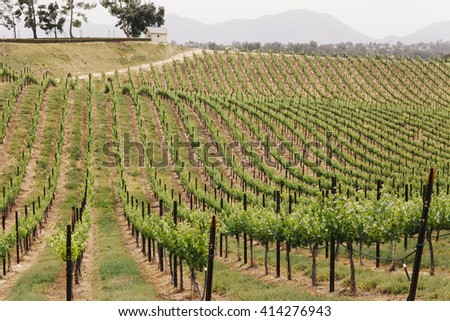 Rows of grape vineyards on a hillside at a California winery