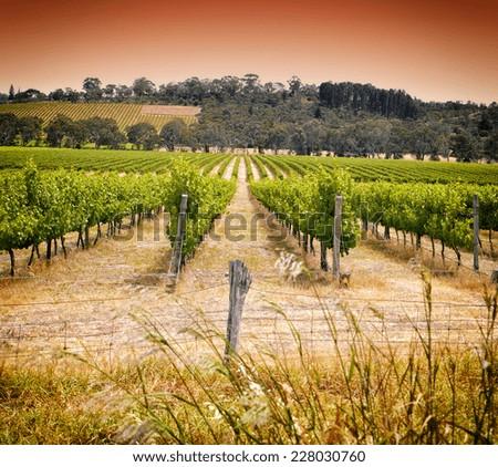 Rows of grapevines taken at Australia's prime wine growing winery area in McLaren Vale, Fleurieu Peninsula, South Australia. - stock photo
