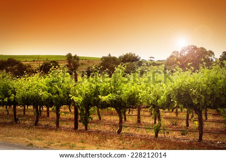 Rows of grapevines taken at Australia's prime wine growing winery area in McLaren Vale, Fleurieu Peninsula, South Australia. - stock photo