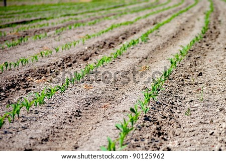 rows of green seedling in a wheat field - stock photo