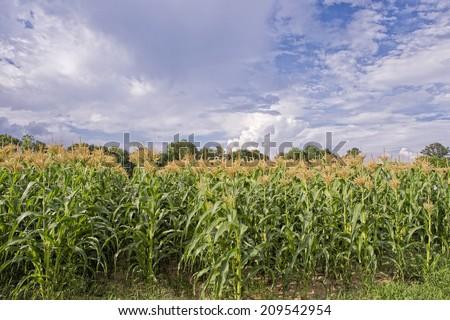 Rows of Growing Corn - stock photo