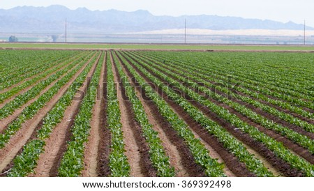 Rows of healthy crops growing in the sunlight - stock photo