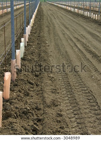 Rows of just planted young vines in a vineyard, protected by plastic shields