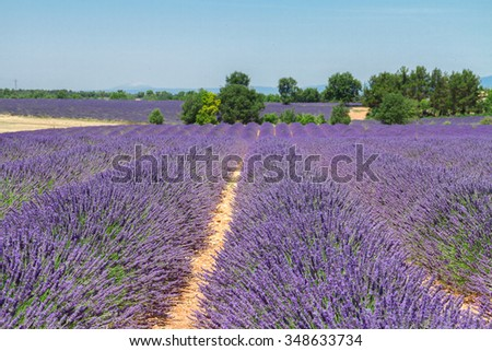 rows of lavender field under summer blue sky, France - stock photo