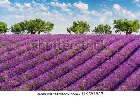 Rows of lavender, green trees and blue sky with clouds, in the lavender fields of the French Provence near Valensole