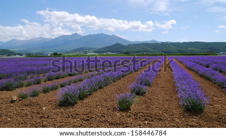 Rows of lavender in Hokkaido, Japan - stock photo