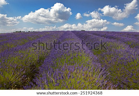 Rows of lavender on a hill - stock photo