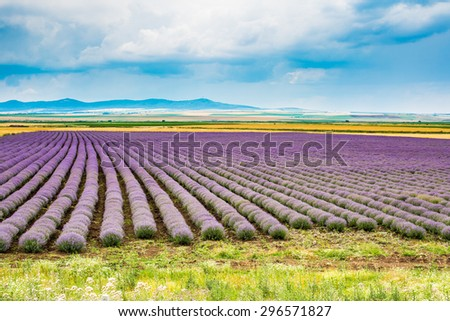 Rows of Lavender starting to bloom at the field and cloudy blue sky background